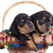 Dachshund puppies — Stockfoto