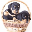 Stock Photo: Dachshund puppies