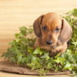 Puppy purebred  dachshund — Stock Photo