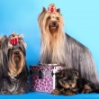 Stock Photo: Yorkshire Terrier puppie and dog
