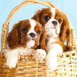 Cavalier King Charles Spaniel puppy — Stock Photo