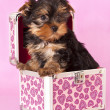 Stock Photo: Yorkshire Terrier puppie