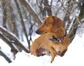 Dachshund in nature in winter — Stock Photo