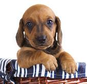 Dachshund puppy — Stock Photo