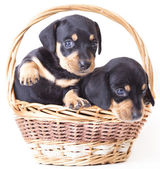 Dachshund puppies — Stock Photo
