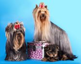 Yorkshire Terrier puppie and dog — Stock Photo