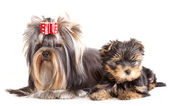 Yorkshire Terrier puppie and adult dogs — Stock Photo