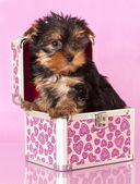 Yorkshire Terrier puppie — Stock Photo