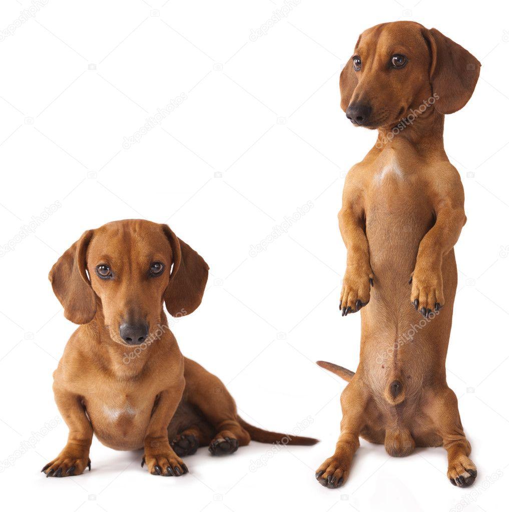 Dachshund dog is the vertical  Dachshund Dog