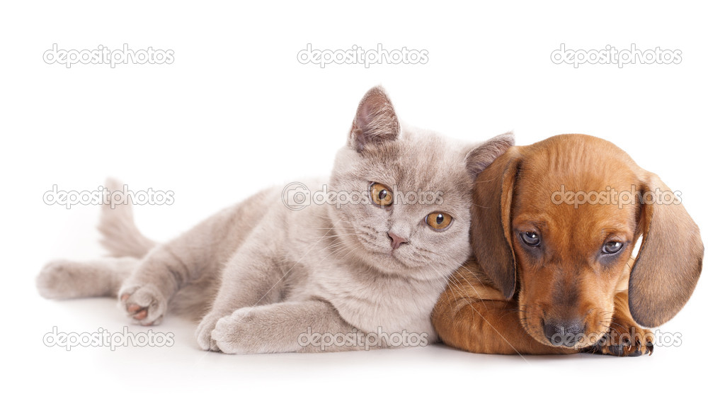 British kitten rare color (lilac) and puppy red dachshund   Stock Photo #6145138