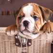 English Bulldog puppy — Stock Photo #6159808