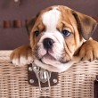 Foto Stock: English Bulldog puppy