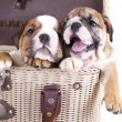 English Bulldog puppy — Stock fotografie