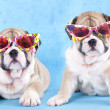 English Bulldog puppy in sunglasses — Lizenzfreies Foto