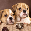 English Bulldog puppy — Stock Photo #6159985