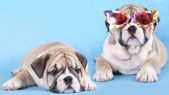 English Bulldog puppy in sunglasses — Stock Photo
