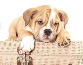 English Bulldog puppy — Stock Photo