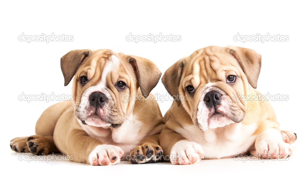 English Bulldog puppies  Stock Photo #6159952