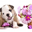 English Bulldog puppy - Foto de Stock