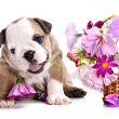 English Bulldog puppy - Stockfoto