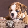 English Bulldog puppy — Foto de Stock
