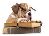 Purebred english Bulldog in glasses and book — Stok fotoğraf