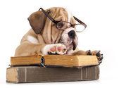 Purebred english Bulldog in glasses and book — Stock Photo