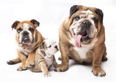 English Bulldog puppy — Stok fotoğraf