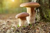 Boletus mushroom in the moss — Stock Photo