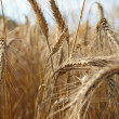 wheat closeup — Stock Photo #6511455