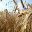 Royalty-Free Stock Photo: Wheat closeup