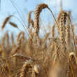 Wheat closeup — Stock Photo #6511593