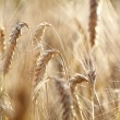 wheat closeup — Stock Photo