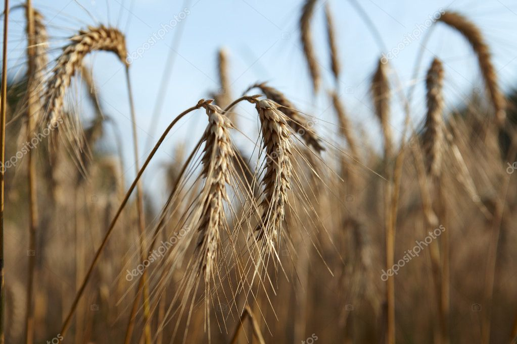Wheat closeup — Stock Photo #6511402