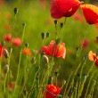 Stock Photo: Red poppies on field