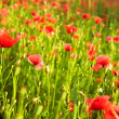 Red poppies on field — Stock Photo