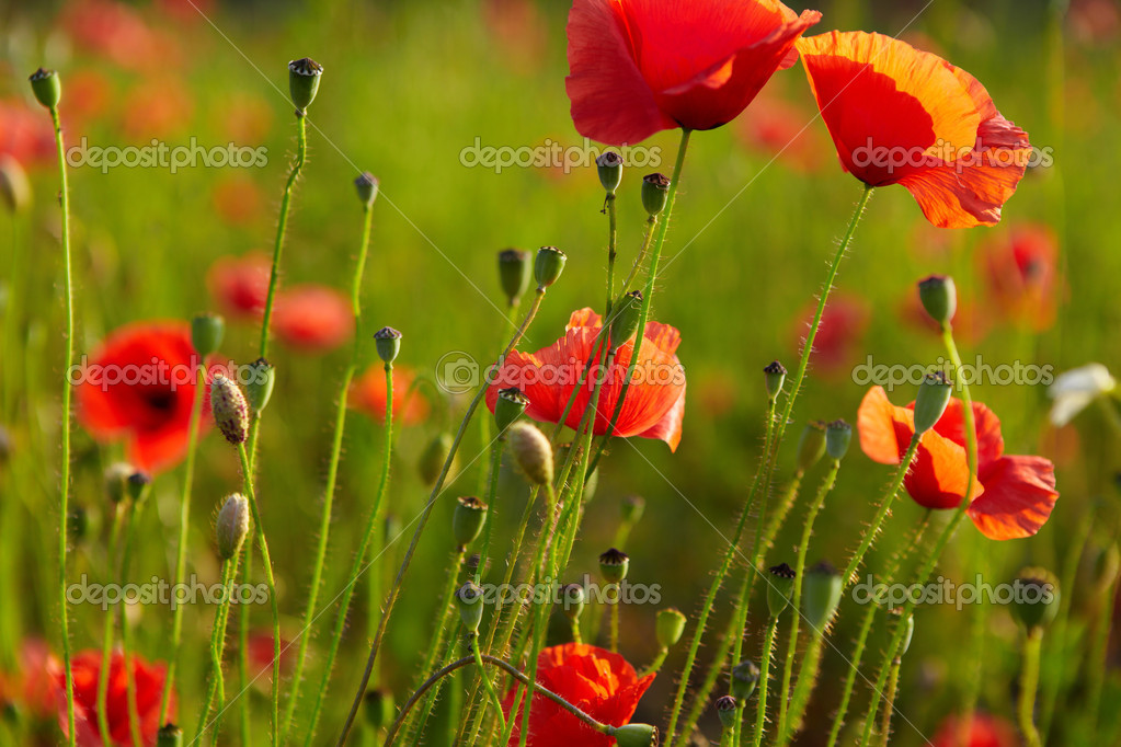Red poppies on field — Foto Stock #6565326