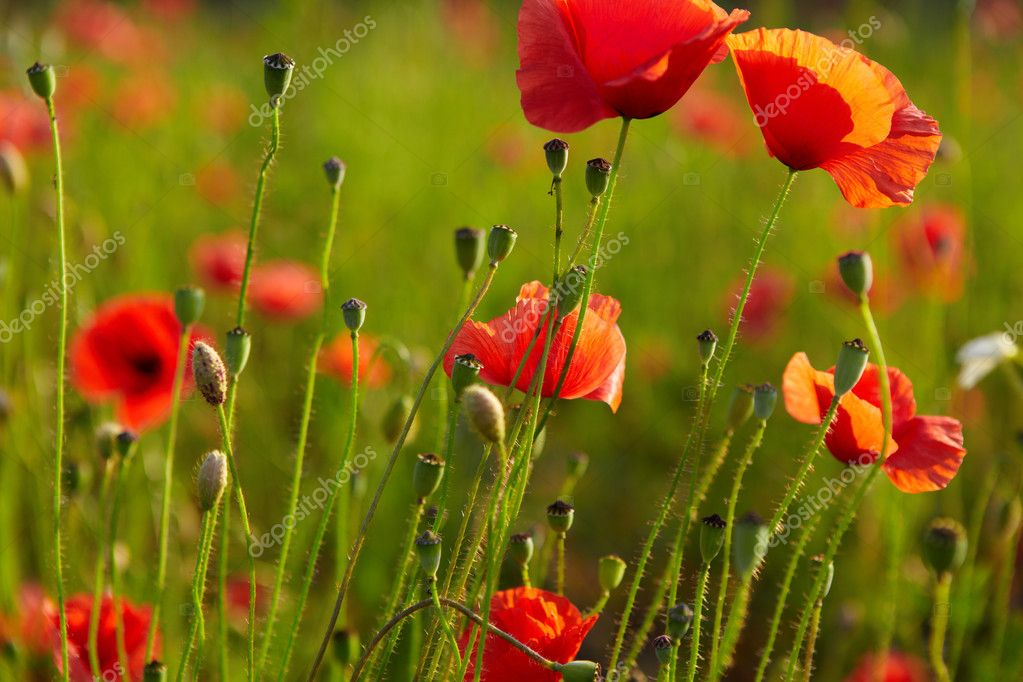 Red poppies on field  Stock Photo #6565326