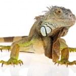 Iguana — Stock Photo #6653817