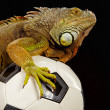 Iguana in football concept — Stockfoto