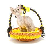 Kotów devon rex — Zdjęcie stockowe
