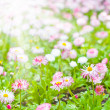Field of marguerite — Stock Photo #5522393