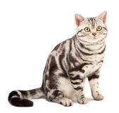 American Shorthair cat — Stock Photo