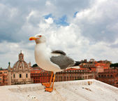 Portrait of sea gull — Stock Photo