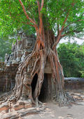 Tropical tree on Ta Som, Angkor wat in Siem Reap,Cambodia — Stock Photo