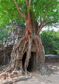 Tropical tree on Ta Som, Angkor wat in Siem Reap,Cambodia — Stock Photo