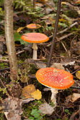 Mushrooms in green forest — Stock Photo
