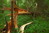Broken tree in the wood — Stock Photo
