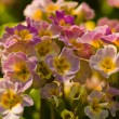 Violet yellow Primrose flower — Stock Photo