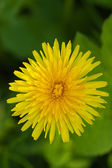 Dandelions on green nature — Stock Photo
